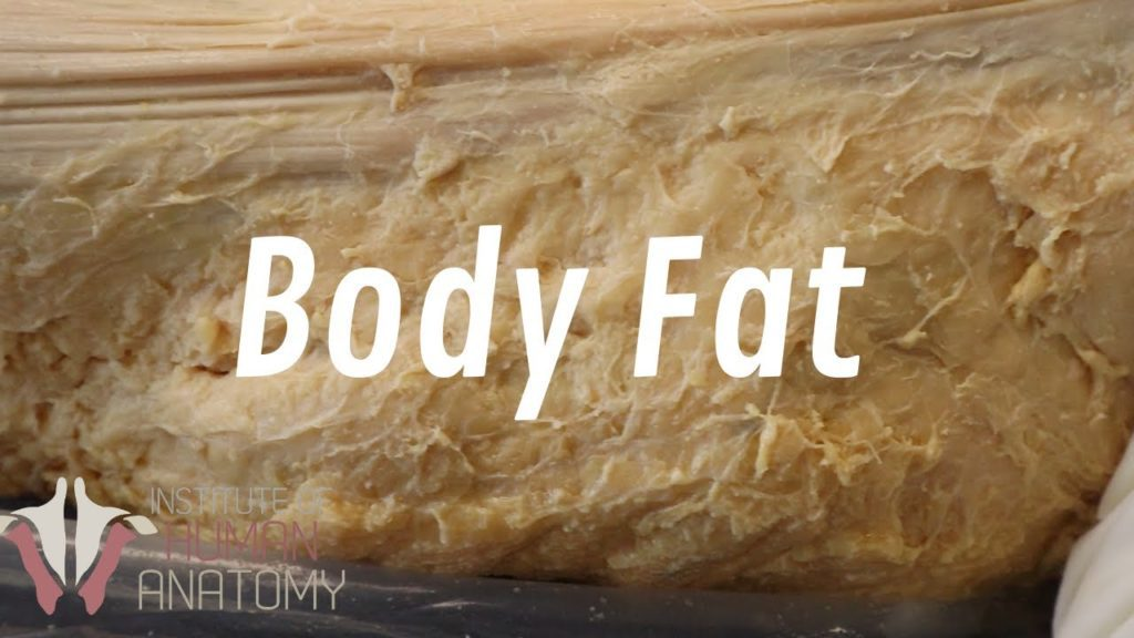 All About Fat – Why You're so Good at Gaining Weight