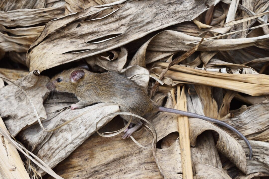 What is Hantavirus and who is at risk?
